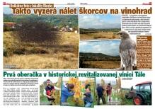 Spravodaj Račan, 04/2013: Nálet škorcov na vinohrad Rinzle a oberačka v revitalizovanej vinici Tále.