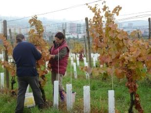 Komplikovanejší postup pri zmene viníc na stavebné pozemky môže pomôcť malým vinohradníkom. Tí čakajú, kým sa ceny prenájmu viníc dostanú na ekonomicky únosné hodnoty.