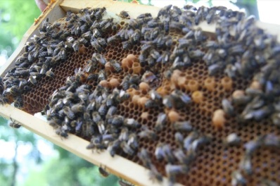 Včely v Obecnej záhrade