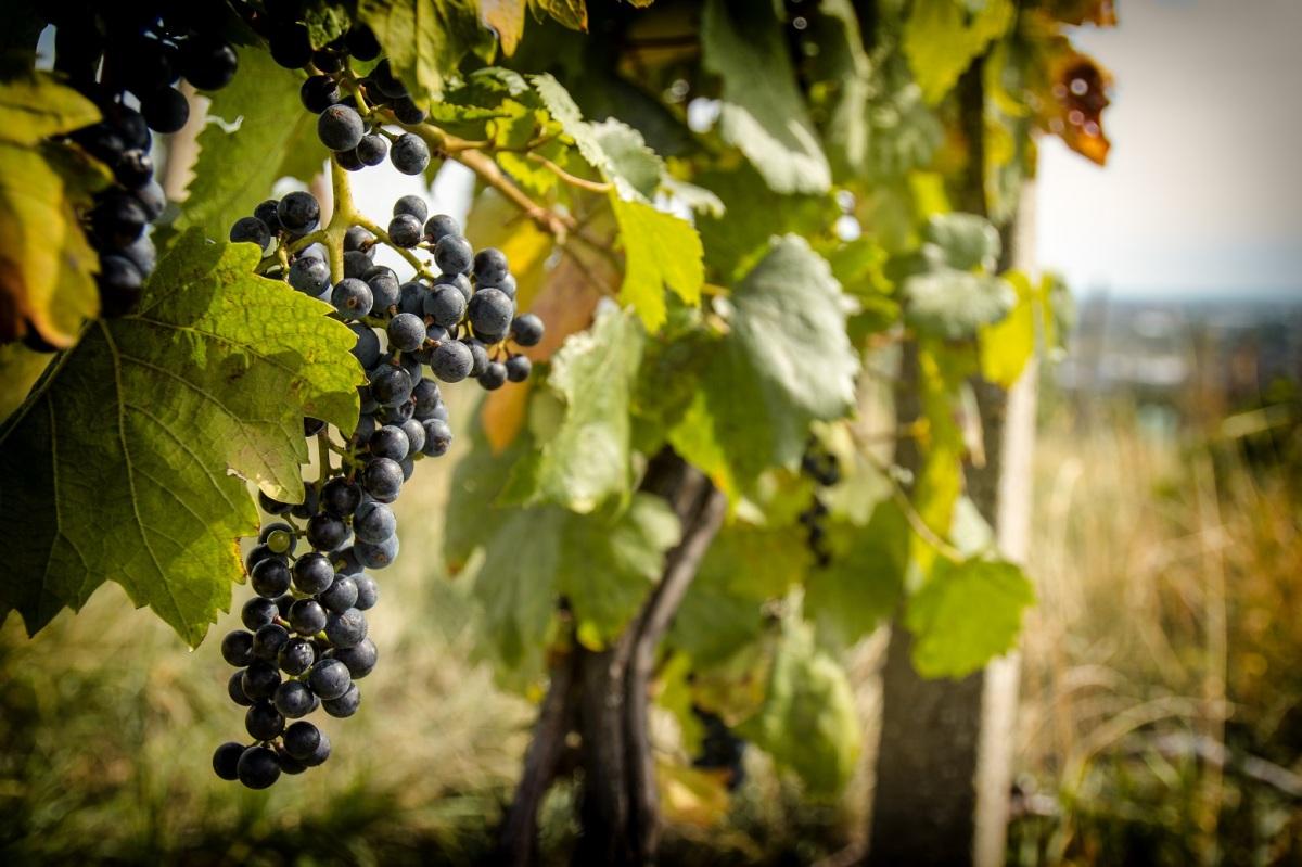 Chcete prispieť k záchrane historických viníc v Rači? Zvážte podporu tohto nového projektu!