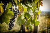 Chcete prispieť k záchrane historických viníc v Rači? Zvážte podporu tohto novéhoprojektu!