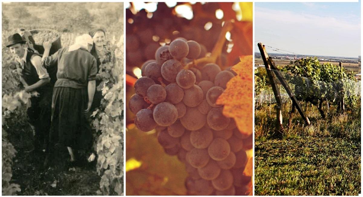 Vaše 2 percentá z daní môžu zachrániť vzácne historické vinohrady!